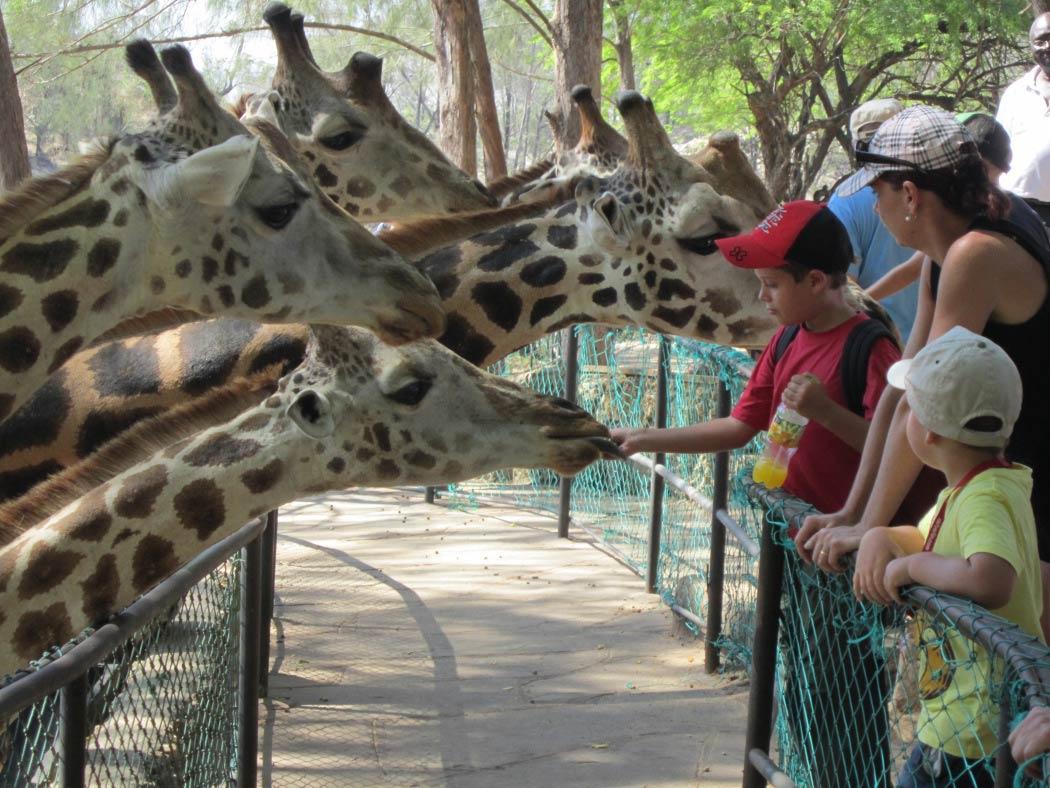 giraffeja